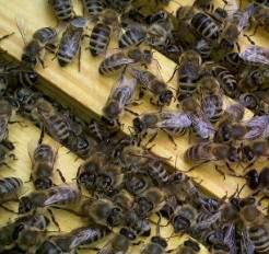 Honigbienen am Stock - Foto Schruck
