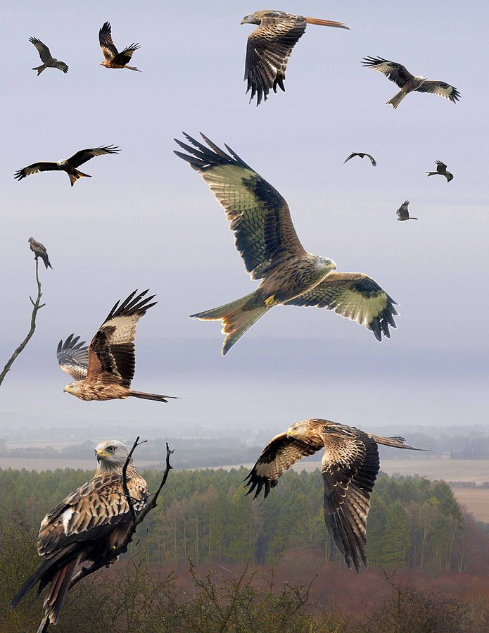 Red_Kite_from_the_Crossley_ID_Guide_Britain_and_Ireland. free and CC3