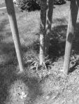 SW Linden Zerstörung Südfriedhof Juni2016 Foto GGe img_5062